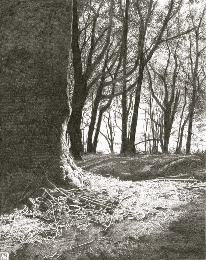 LewesdonHill/Wood/Forest/Beech/Tree/Dorset/AONB/Pencil/Drawing/Graphite/Nature