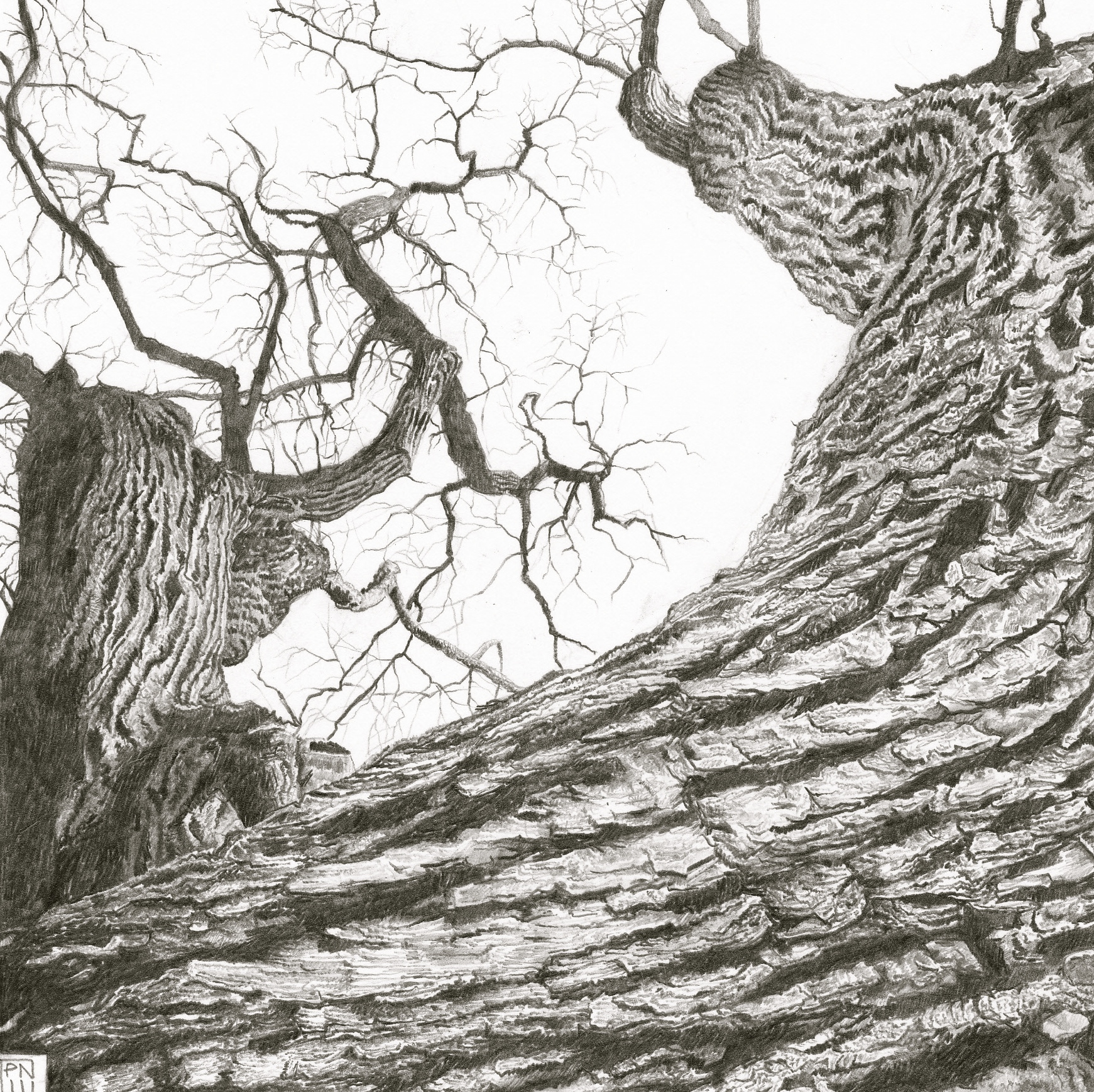 ash/lewesdonhill/dorset/bark/texture/tree/wood/pencil/drawing/graphite