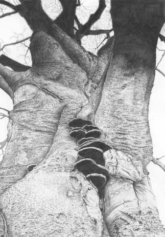 beech/tree/nature/graphite/drawing/dorset/wessex/bark/fungi
