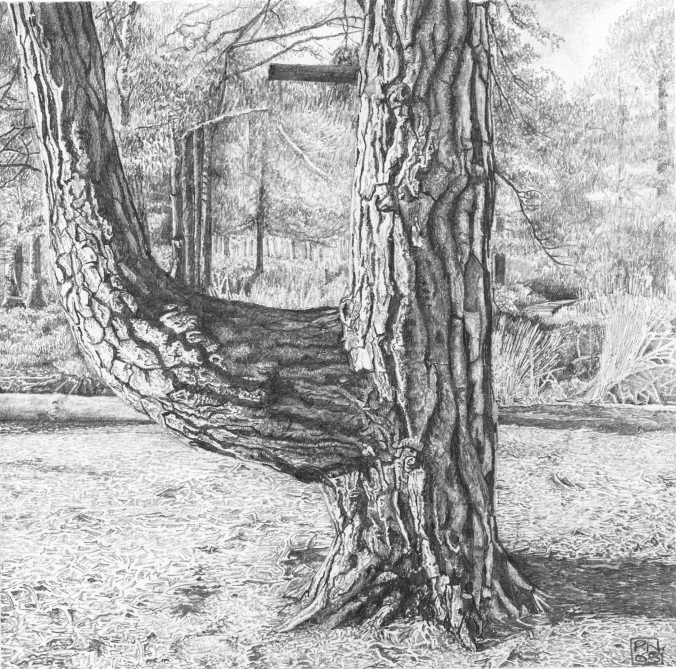 pine/tree/bark/wood/Arne/RSPB/Dorset/Purbeck/nature/reserve/drawing/pencil/graphite