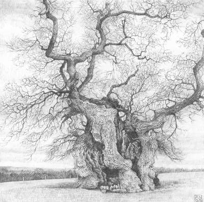 Oak/Tree/Wood/Bark/Nature/Dorset/Drawing/Pencil/Graphite