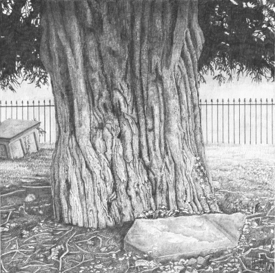 Yew/wood/tree/bark/Chard/Somerset/StMarys/grave/tomb