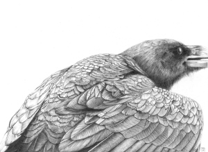 Raven/bird/corvid/feathers/drawing/graphite/pencil/blackandwhite